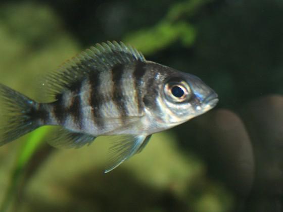 Taiwan Reef Weibchen