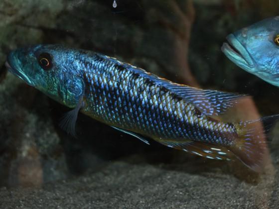Tyrannochromis maculiceps Tanzania wf