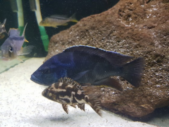 Nimbochromis livingstoni