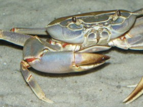 Potamonautes orbitospinus