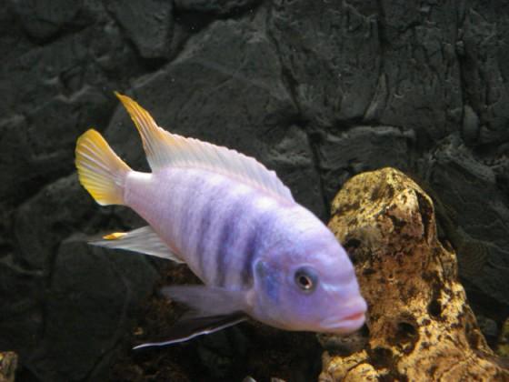 Pseudotropheus fainzilberi