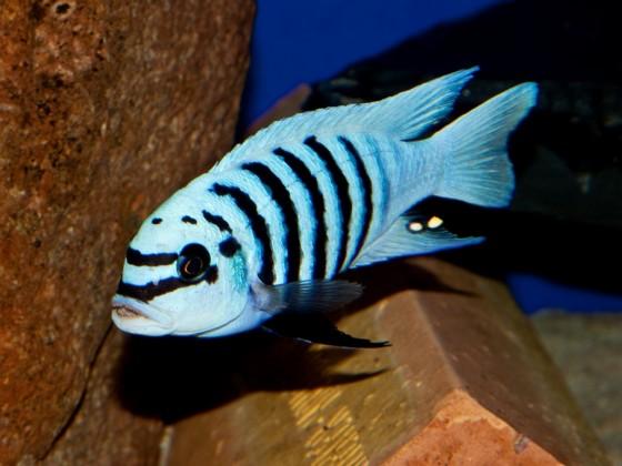 Metriaclima zebra maison reef