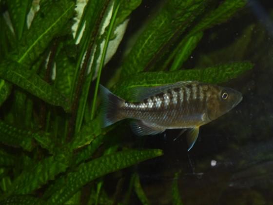 Tyrannochromis polyodon