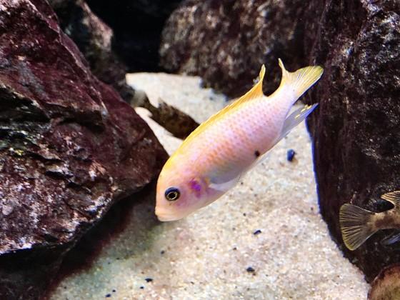 "Maylandia pyrsonotos ""New Reef"" O-Morphe Männchen"