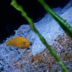Metriaclima msobo magunga Weibchen
