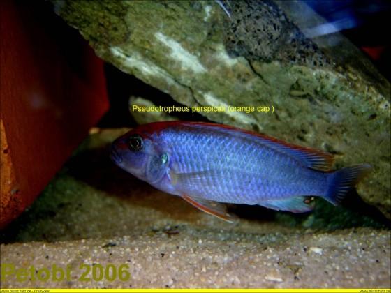 "Pseudotropheus perspicax Ndumbi ""Red Cap"" Wildfang"