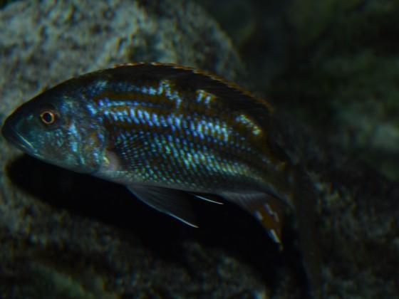 Nimbochromis fuscotaeniatus