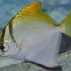 Silberflossenblatt Monodactylus argenteus