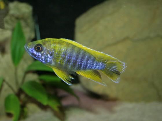 "Aulonocara sp.""mamelela"" Undu Reef WF Männchen"
