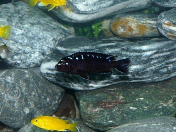 "Pseudotropheus elongatus ""neon spot"""