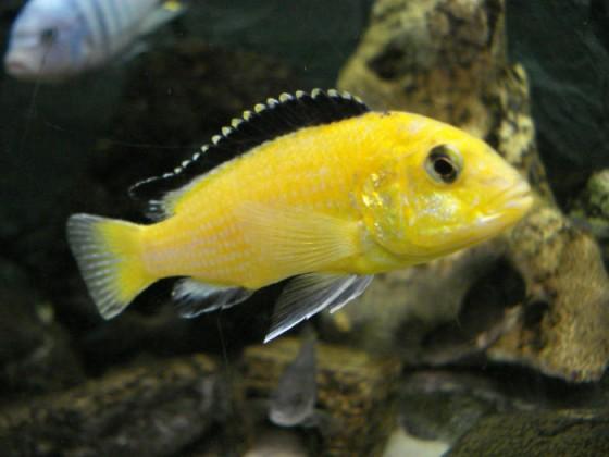 "Labidochromis sp ""Gelb"""