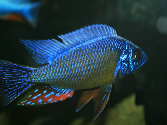 Taiwan Reef Männchen