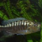 Tyrannochromis polyodon tanzania