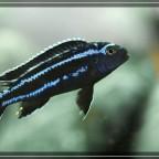 Melanochromis cyaneorhabdos (maingano)