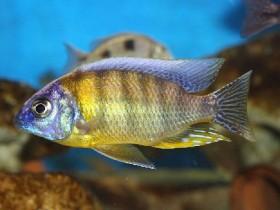 Protomelas Steveni Taiwan Ngkuyo Reef