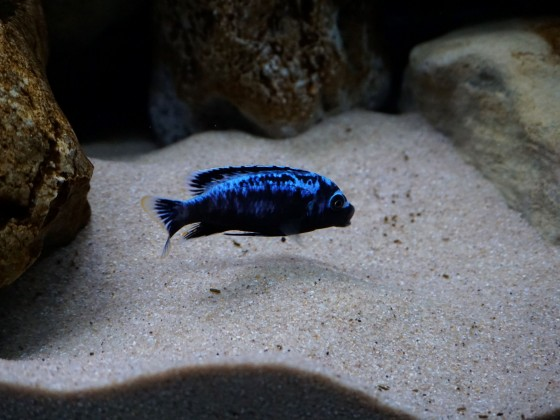 Metriaclima msobo magunga Männchen