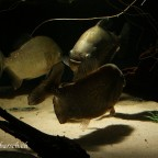 Pygocentrus nattereri