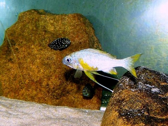 "Ophthalmotilapia ventralis sp. ""rainbow congo"""