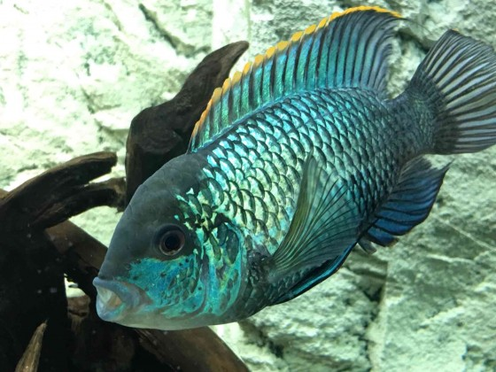 Andinoacara pulcher electric blue