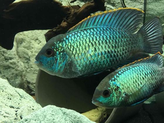 Andinoacara pulcher blue Paar