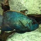 Andinoacara pulcher m