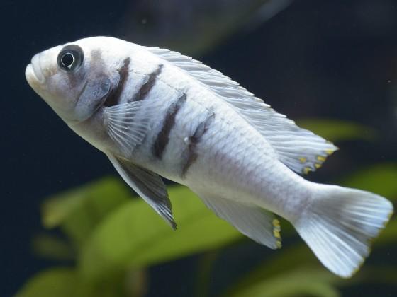"Cynotilapia sp. ""Hara Gallireya Reef"""