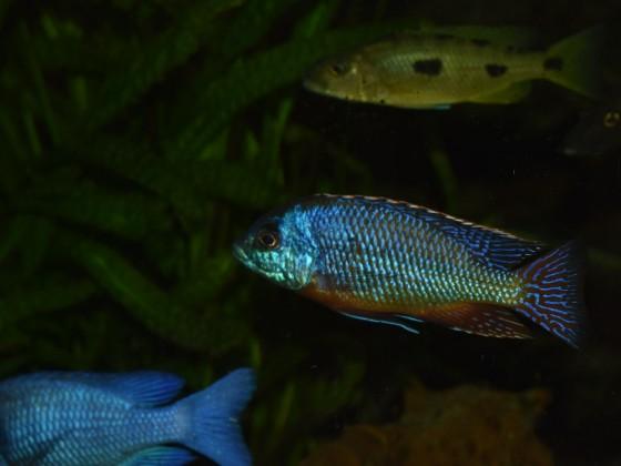 Protomelas taeniolatus senga bay