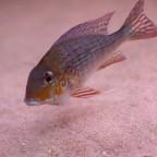 Geophagus sp. Nhamunda