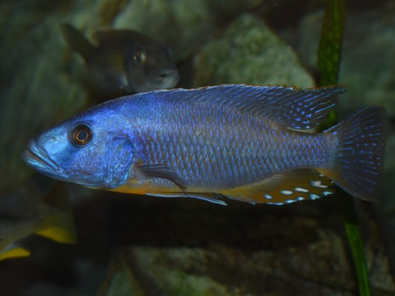 Tyrannochromis nigriventer mbenji