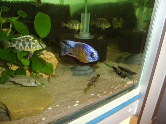 """Protomelas fenestratus """"Taiwan Reef""""  Zuchtbock"""