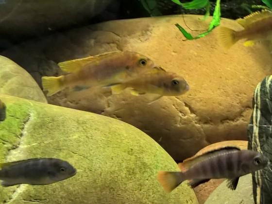 Labidochromis spec. Mbamba Bay