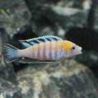 """Cynotilapia zebroides """"Cobue"""" Albino male"""