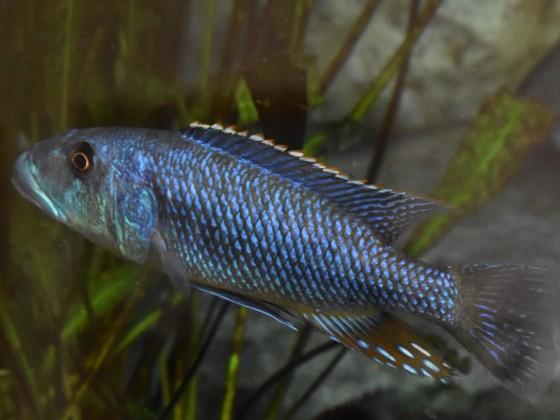 Tyrannochromis maculiceps Tanzania