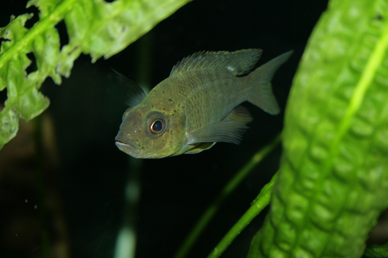 "Aulonocara sp.""mamelela"" Undu Reef WF Weibchen"