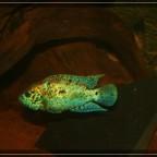 """Rocio octofasciata  """" Blue Dempsey """" ca. 10 cm"""